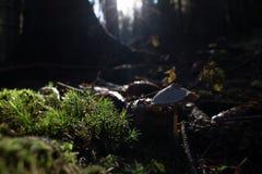 Cogumelo macro pequeno da floresta Foto de Stock Royalty Free