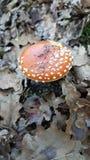 Cogumelo Mario France landes perigosos fotografia de stock