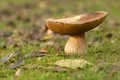 Cogumelo marrom grande foto de stock