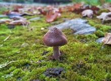 Cogumelo marrom pequeno Fotos de Stock Royalty Free