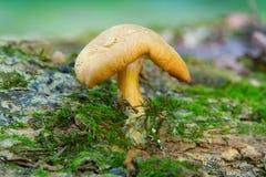 Cogumelo minúsculo Fotos de Stock Royalty Free