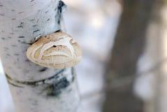 Cogumelo na árvore de vidoeiro fotos de stock