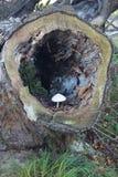Cogumelo na árvore oca Imagens de Stock Royalty Free
