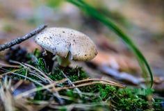 Cogumelo na floresta Fotografia de Stock