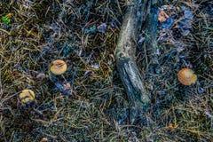 Cogumelo na floresta Imagem de Stock Royalty Free