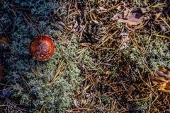 Cogumelo na floresta Imagens de Stock Royalty Free