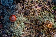 Cogumelo na floresta Fotografia de Stock Royalty Free