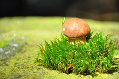 Cogumelo na floresta Foto de Stock