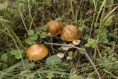Cogumelo na floresta Fotos de Stock