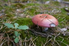 Cogumelo na floresta Fotos de Stock Royalty Free