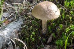 Cogumelo na floresta Foto de Stock Royalty Free
