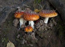 Cogumelo na floresta do outono Foto de Stock