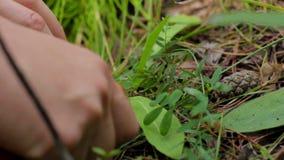 Cogumelo na floresta, mãos fêmeas do mushroomer, colhendo, close-up da colheita filme