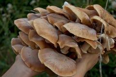 Cogumelo na madeira holded nas mãos Imagem de Stock Royalty Free