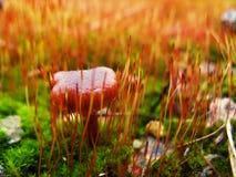 Cogumelo no musgo Fotografia de Stock