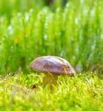 Cogumelo no musgo verde Foto de Stock Royalty Free