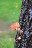 Cogumelo no vidoeiro Fotografia de Stock Royalty Free