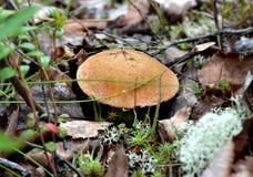 Cogumelo novo Mokhovik (Xerocomus) entre o musgo e a folha do ano passado Foto de Stock Royalty Free