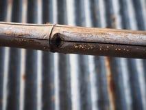 Cogumelo ou fungos alaranjados arrumados pequenos na vara de bambu Imagem de Stock Royalty Free