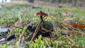 Cogumelo peludo Fotos de Stock Royalty Free