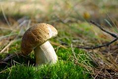 Cogumelo Penny Bun no pinho Forest Closeup fotografia de stock