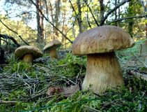 Cogumelo Penny Bun no pinho Forest Closeup fotos de stock