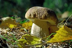 Cogumelo Penny Bun no pinho Forest Closeup imagens de stock