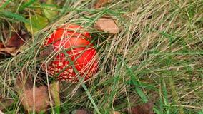 Cogumelo pequeno, tampão coberto com a grama seca e folhas do muscaria do amanita do agaric de mosca foto de stock royalty free