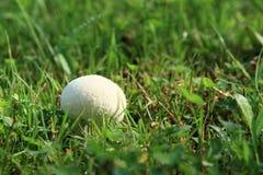 Cogumelo - puff-ball Imagens de Stock