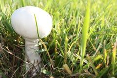 Cogumelo que cresce na jarda Foto de Stock Royalty Free