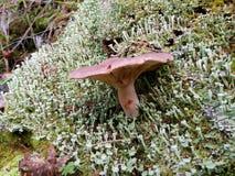 Cogumelo que cresce no musgo branco Imagem de Stock Royalty Free