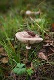 Cogumelo que expõe brânquias, fungos comestíveis que crescem na grama Imagem de Stock Royalty Free