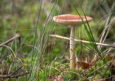 Cogumelo romântico Fotos de Stock