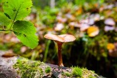 Cogumelo saprotrophic pequeno na árvore caída Foto de Stock