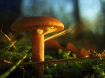 Cogumelo selvagem Fotos de Stock