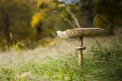 Cogumelo selvagem Imagem de Stock Royalty Free