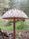 Cogumelo selvagem Foto de Stock Royalty Free