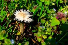 Cogumelo selvagem deteriorado velho no assoalho da floresta foto de stock royalty free