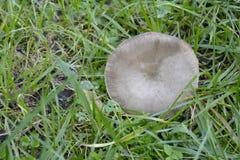 Cogumelo Selvagem; Fungo selvaggio Fotografia Stock Libera da Diritti