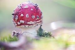 Cogumelo tóxico Amanita que cresce na floresta no musgo Fotografia de Stock