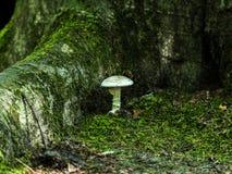 Cogumelo tampado Fotos de Stock Royalty Free