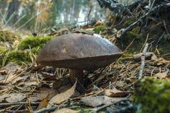 Cogumelo tampado O olhar do cogumelo em f imagens de stock