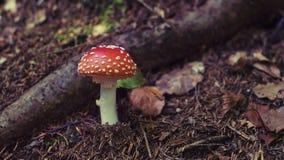 Cogumelo venenoso único Imagem de Stock Royalty Free