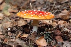 Cogumelo venenoso Foto de Stock