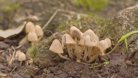 Cogumelo venenoso Imagem de Stock