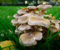 Cogumelo venenoso-cogumelos no parque Fotos de Stock