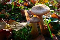 Cogumelo venenoso-cogumelos no parque Fotografia de Stock