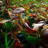 Cogumelo venenoso-cogumelos no parque Imagem de Stock