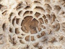 Cogumelo venenoso do parasol Fotos de Stock