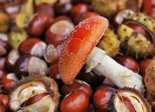 Cogumelo venenoso e castanhas vermelhos Imagens de Stock Royalty Free